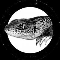 Reptil des Jahres 2020 - Zauneidechse